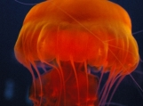 Orange Jellyfish II   Free Shipping