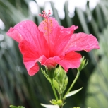 Tropical Hibiscus, unframed photo print