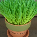 ::SPRING IN A POT� ...wheat grass garden kit ::