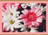 Gerberas And Chrysanthemums Cross Stitch Pattern