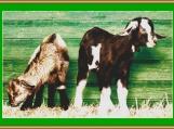 Two Goats Cross Stitch Pattern