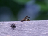 Bee with a fly on a rail