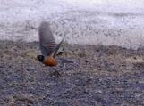 First Robin of Spring in flight April 2008