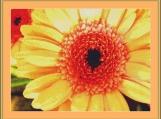 Apricot Gerbera Cross Stitch Pattern