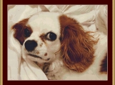Cavalier Puppy Cross Stitch Pattern