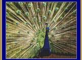 Blue Peacock Cross Stitch Pattern
