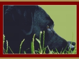 Black Labrador Cross Stitch Pattern