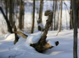 Forest Swan, Canadian Winter, Photo Print 8' x 6'
