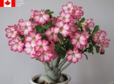 6 Seeds - Adenium obesum Seeds (Desert Rose, Sabi Star)