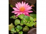 """16"""" X20"""" pink waterlily fine art photograph poster"""