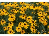Brown Eyed Susan's