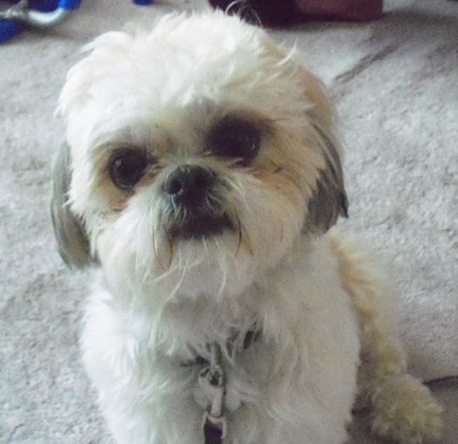Penny, my 4-year old Shih Tzu with a lot of spunk.