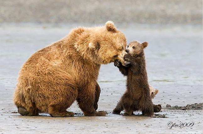 bears playing.