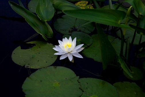 Water Lily, Lake, Algonquin Park, Photo Print.